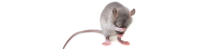 как вывести запах мышей